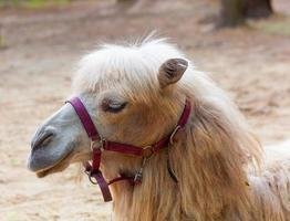 retrato de camelo close-up