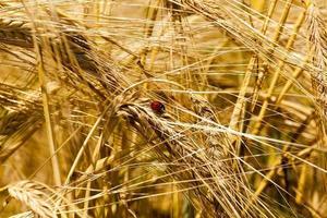 close-up de cereais maduros foto