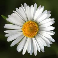 margarida close-up foto