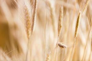 close-up de trigo foto