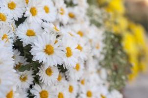lindas margaridas close-up foto
