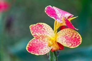 canna flor close-up foto
