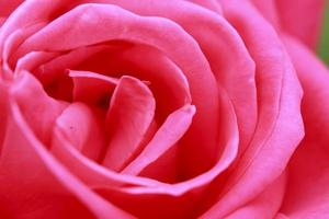 fechar flor rosa foto