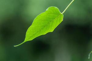 textura de folha verde bodhi foto