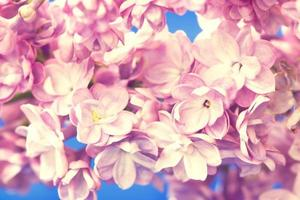 ramo lilás close-up foto