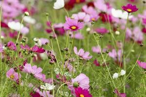 flor de cosmos no jardim para o fundo
