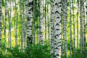 vidoeiro da floresta