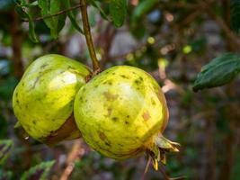 romã verde fruta no galho de árvore