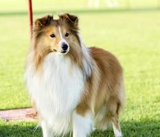cão pastor de shetland foto