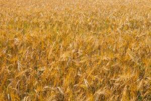 campo de trigo, close-up