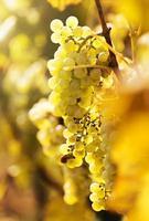 close de uvas para vinho foto
