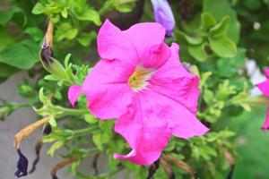 petúnias coloridas close-up