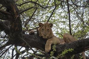 Leão descansando de perto foto