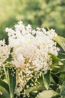 elderflowers close-up, tonificado foto