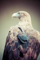 águia dourada close-up
