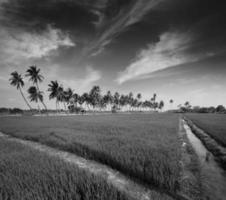 arroz perto, Índia foto