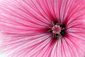 flor de malva close-up foto