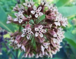 hoya flor close-up