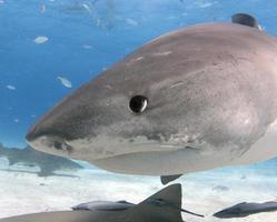tubarão tigre close-up