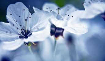 flores de cerejeira close-up