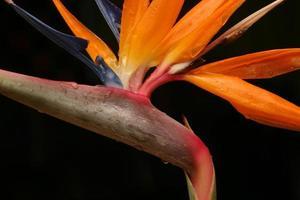 close-up de estrelitzia foto