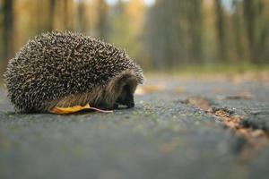 retrato de close-up de ouriço foto