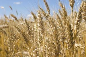 close-up de trigo