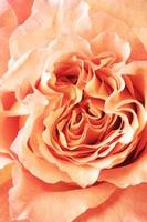 rosa close-up
