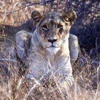 close-up de leoa foto