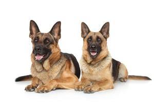 dois cães de pastor alemão foto