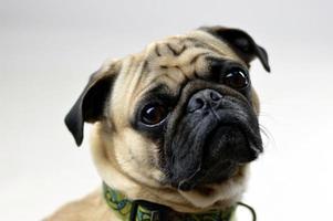 retrato de cachorro pug