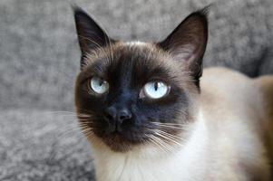 gato siamês foto