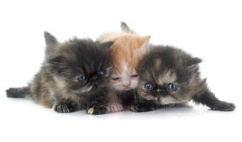 gatinho persa