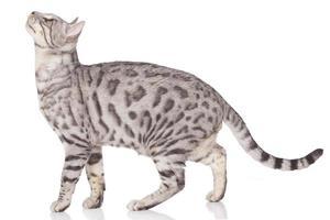gato de bengala em pé lateralmente