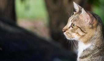 gato de pêlo curto americano foto