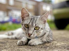 gato mau egípcio na rua foto