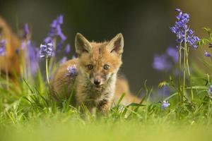 raposa vermelha - vulpes vulpes foto