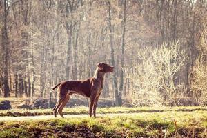 cão caçador foto