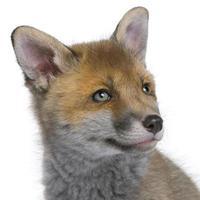 filhote de raposa vermelha (6 semanas de idade) foto