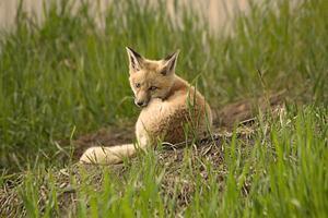 kit raposa jovem foto