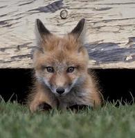 kit raposa foto