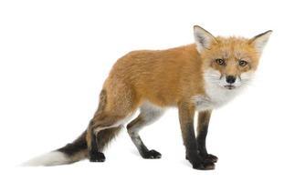 raposa vermelha agachada de quatro anos foto