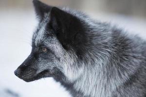 raposa no inverno foto