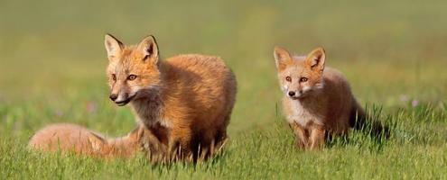 raposas jovens em jogo foto