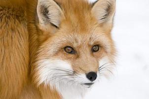 raposa fofa foto
