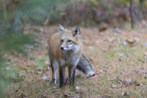 raposa vermelha selvagem em estado selvagem foto