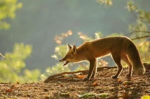 raposa vermelha agachada na luz de fundo do outono de beleza foto