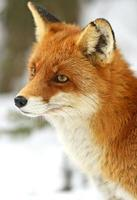 Raposa vermelha foto