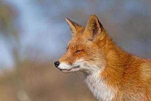 raposa de perto foto