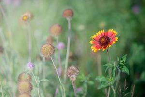 flor do jardim gaillardia vermelho
